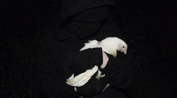 Uwolniono 10 kurczaków w ramach solidarności ze Svenem! [ANGLIA]